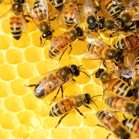 honey bees on golden honey comb