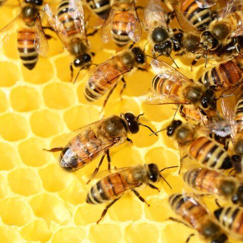 honey bees on golden honey comb