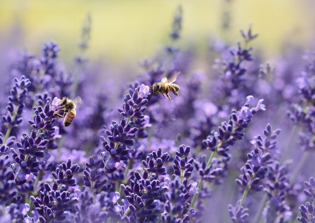 field of lavender with honey bees